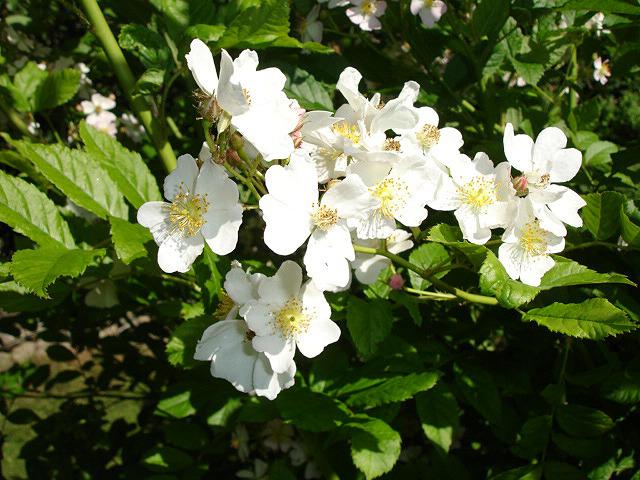 763580726_FtbJQnEx_Rosa_multiflora_var__multiflora1UME.jpg